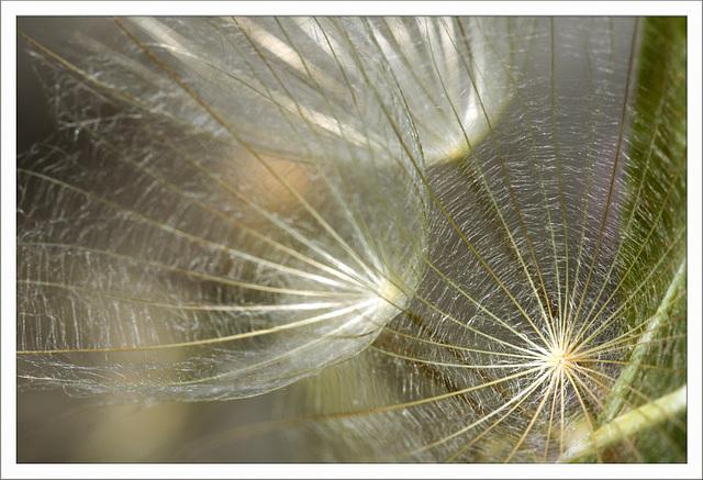 Riesenpusteblume