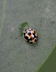 Tiny cowrie beetle