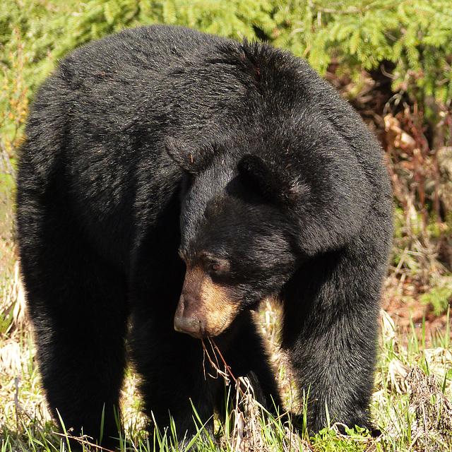 A Black Bear sighting from May