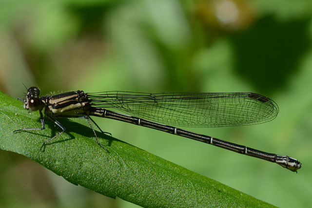 Different variety of damselfly
