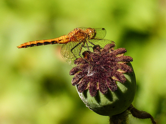 An attractive Dragonfly perch
