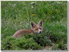 Jeune renard roux.