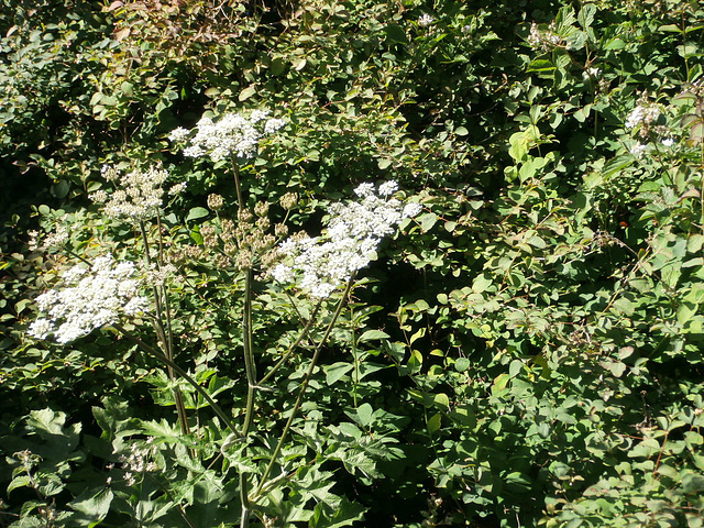 Some cow parsley growing in the hedgerows