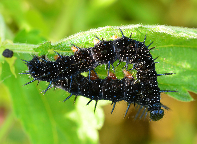 Caterpillar. Peacock Butterfly, Inachis io