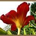 .. still, the Velvet blooms