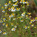 Anthemis cotula -Camomille puante