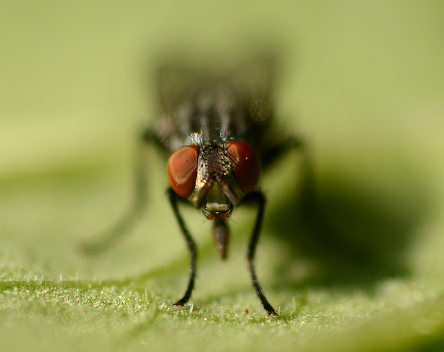 A newer fly