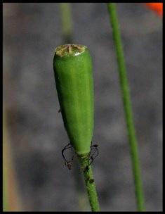 Papaver dubium - Pavot douteux-004