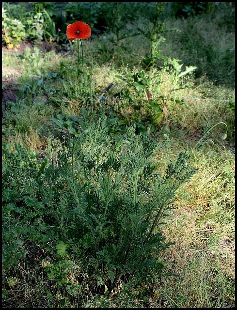 Papaver dubium (2)