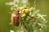 Summer Chafer Amphimallon solstitiale
