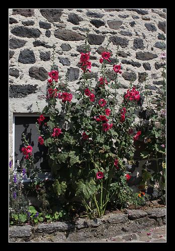 Rue fleurie- Roses trémières