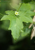 White Bryony Bryonia dioica