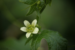 White Bryony Flower Bryonia dioica