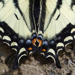 A Swallowtail's tails
