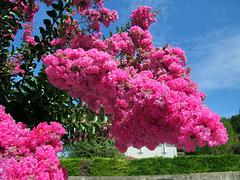 Arbre fleuri ! Lilas des Indes