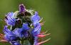 Viper's Bugloss Echium vulgare