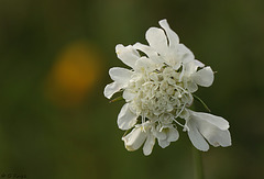 Field Scabious in White Knautia arvensis