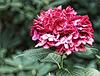 Rote Hortensie
