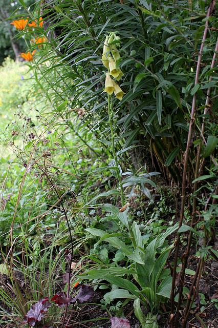 Digitalis grandiflora (2)