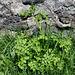 Anthriscus cerefolium - Cerfeuil