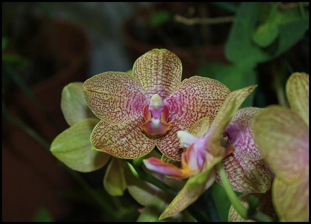 Phalaenopsis hybride (2)