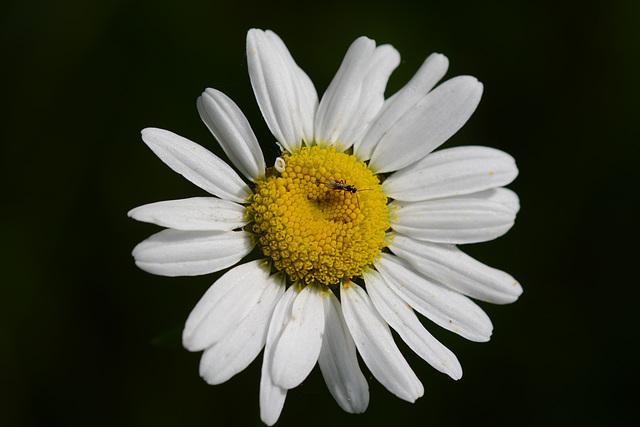 At center stage, an ichneumon wasp