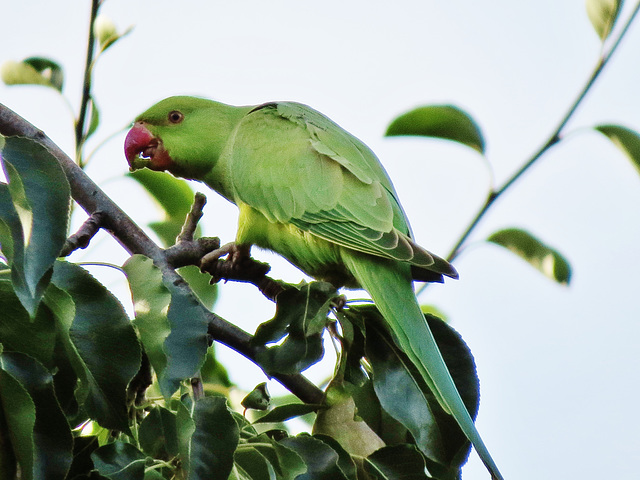 london's ring necked parakeets