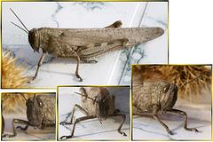 Südliche braune Kurzfühlerschrecke. ©UdoSm
