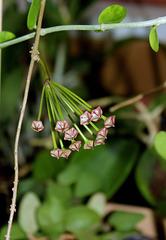Hoya pubicalyx HSI -037