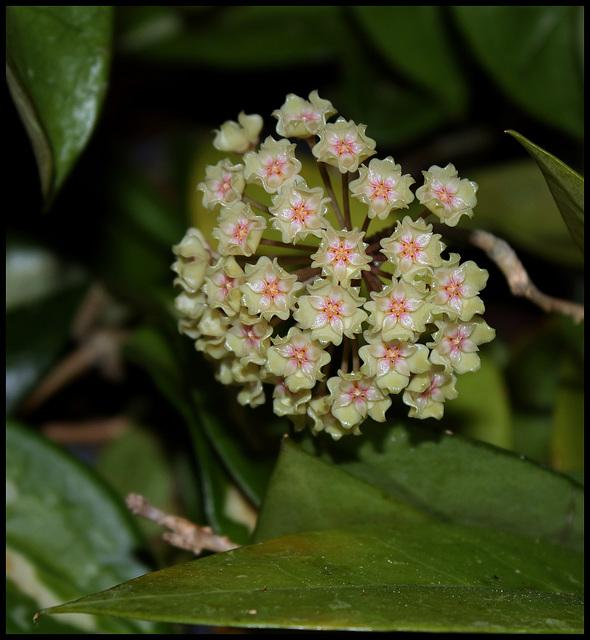 Hoya sp. affinis parasitica