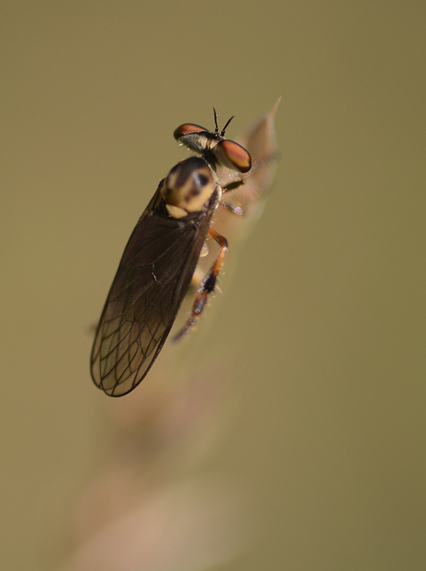 Another robber fly