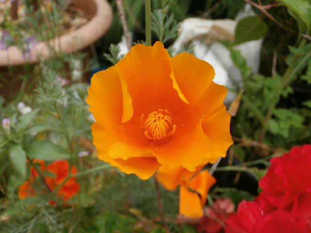 Lovely delicate poppy