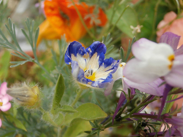 A new little blue flower is opening up in the wildflower patch