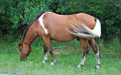 A Horse of Assateague Island