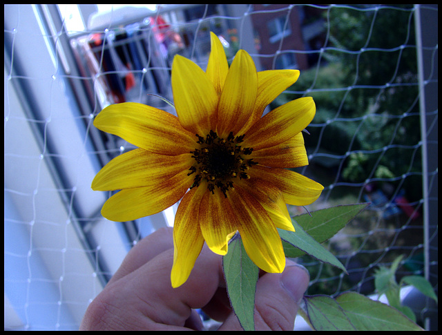Sonnenblumen - Blüte