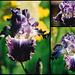 Iris Double Click