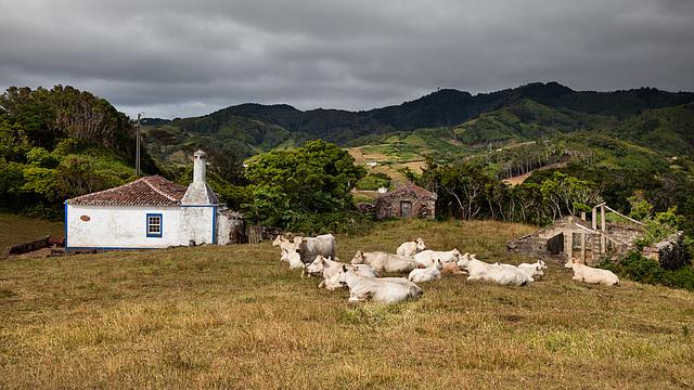 white_cow_land