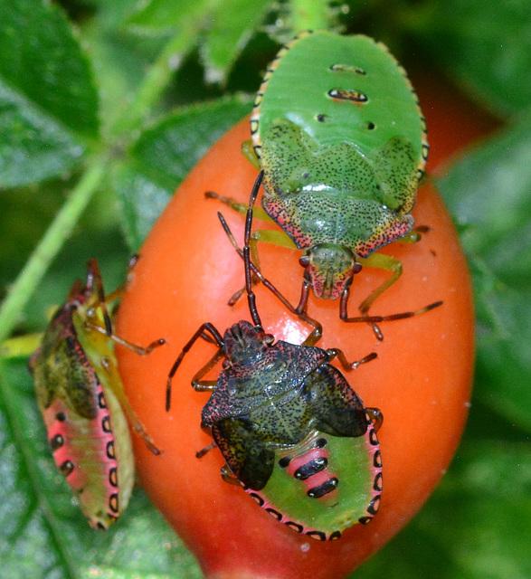 Shieldbug nymphs