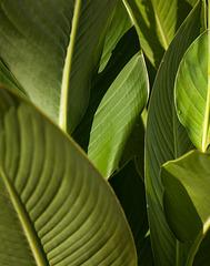 Canna leaves 1