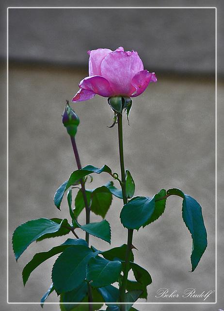 pink rózsa