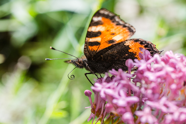 Schmetterling - 20140808