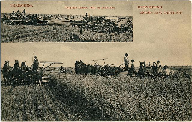 3989. Threshing. Harvesting, Moose Jaw District.