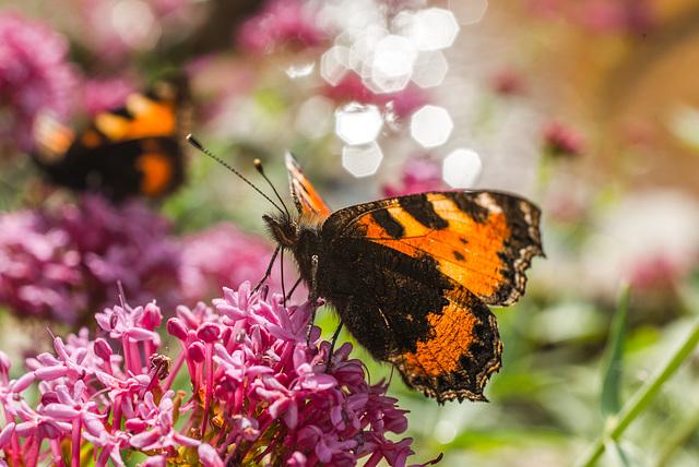 Schmetterlinge - 20140808