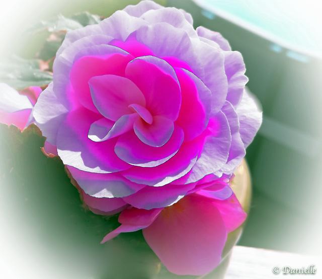 Rose…..