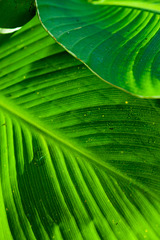 Canna leaves 2