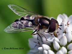 Hoverfly 2 ( Scaeva Pyraeva) Explore  064 copy
