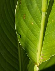 Canna leaves 6