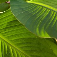 Canna leaves 7