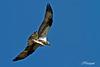 Balbuzard pêcheur IMG 4044