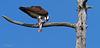 Balbuzard pêcheur IMG 4595